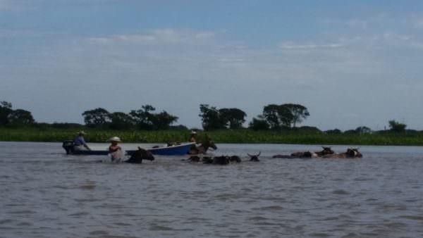 Gauchos, die die Kühe von Insel zu Insel durch den Fluss treiben
