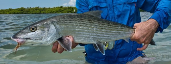 Großer Bonefish