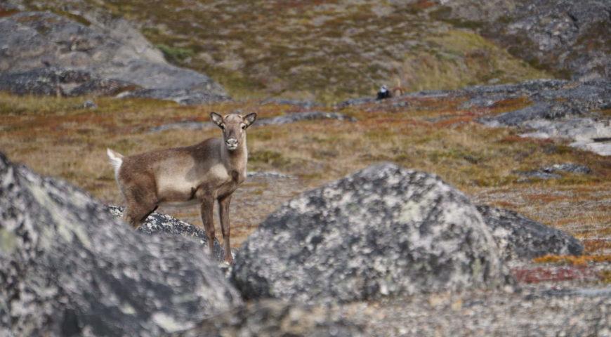 Grönland-Secret-River-Camp-Rentier