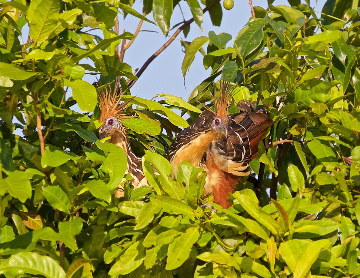 Pirarucu-Vögel