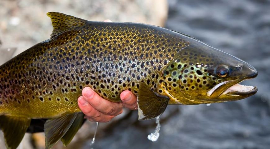 Russland-Varzina-Trout-Tented-Camp-Gallerie-Varzina-Bachforelle