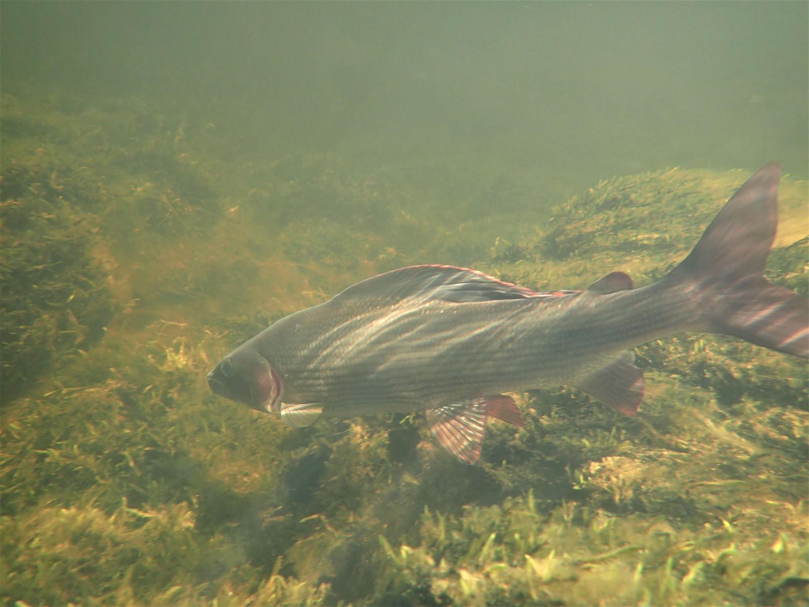 Unterwasser Äsche