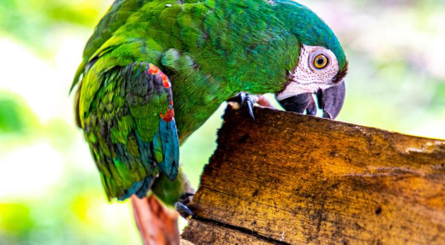 Xingu-Papagei