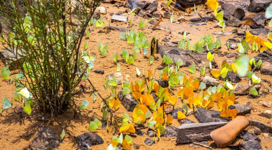 Xingu-Schmetterlinge