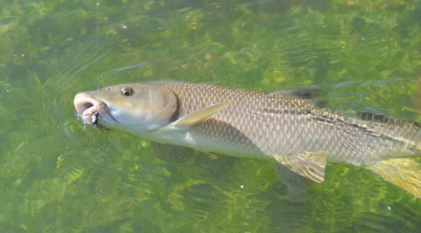 Iberische Barbe, aka freshwater bonefish, Spanien