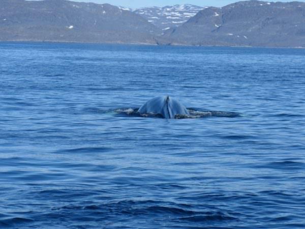 Wale auf dem Weg ins Camp
